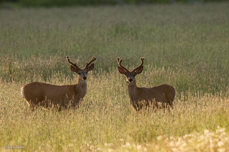 Two mule deer bucks in velvet graze in the Hoback River Basin, Wyoming. (Dave Showalter)