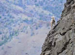 Yearling bighorn sheep. Taken on April 7, 2015 on the North Fork of the Shoshone River. (Rob Koelling)