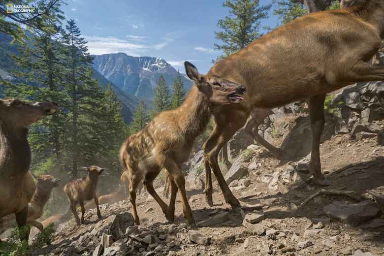 On their first migration to their summer range in southeastern Yellowstone, three-week-old calves of the Cody elk herd follow their mothers up a 4,600-foot slope. A few hours earlier they swam the swollen South Fork of the Shoshone River. ©Joe Riis / National Geographic. From the May 2016 issue of National Geographic magazine.