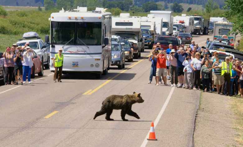 """In Grand Teton National Park, tourist watch a young grizzly cross a highway, such a common sight the agency has enlisted a """"bear brigade"""" to keep exuberant visitors in line. A study says roadside bears in Yellowstone bring more than $10 million annually to the regional economy. (National Park Service)"""