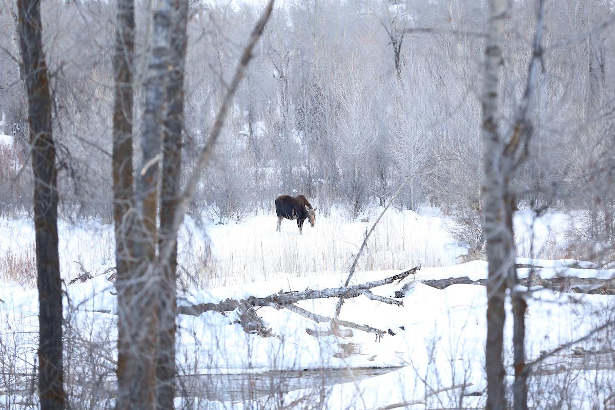 Wyoming moose winter