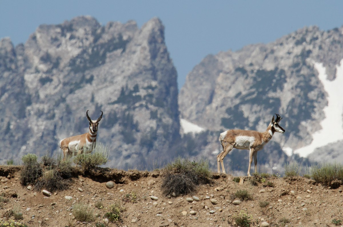 Wyoming antelope migration