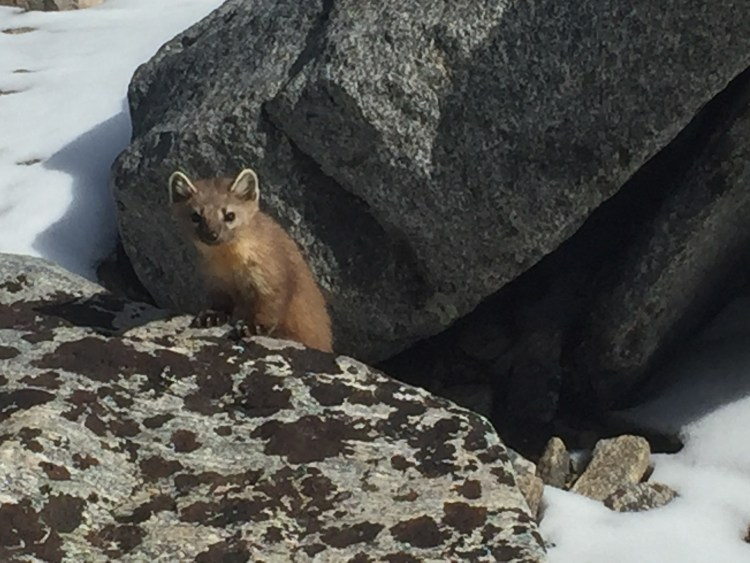 Pine Marten on summit of Cloud Peak