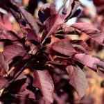 Prunus virginiana melancarpa 'Canada Red' | Photo courtesy of Bailey Nurseries, Inc.