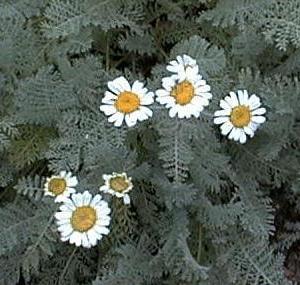 Tanacetum albipannosum