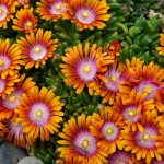 'Fire Spinner'® Ice Plant