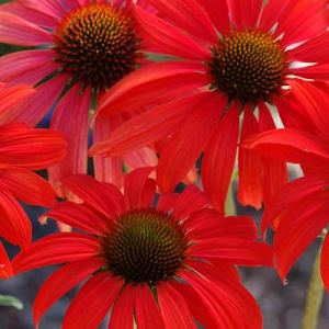Echinacea purpurea 'Tomato Soup'