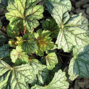 'Green Spice' Coral Bells