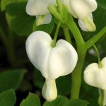 Bleeding Heart 'Alba'