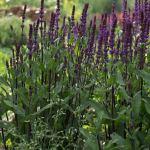 Caradonna Salvia | Photo by Anita Hill