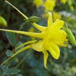 'Denver Gold'® Columbine