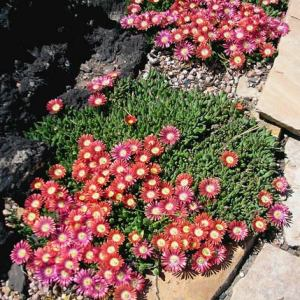 'Red Mountain'® Ice Plant