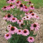 Echinacea 'Prairie Splendor'