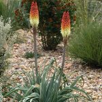 Regal Torch Lily