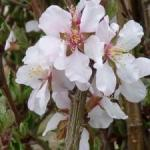 Prunus tomentosa, Nanking cherry  | Photo courtesy of Keith Williamson, LIttle Valley Nursery