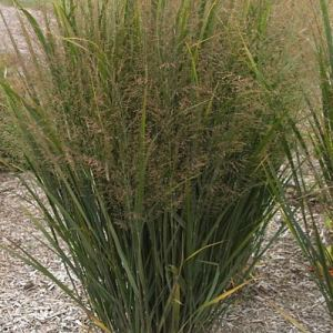 'Northwind' Switch Grass