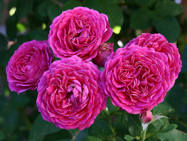 'Ruby Voodoo Rose, Plant Select® 2012 selection'