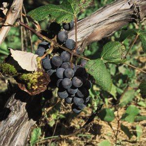 Bluebell Grape