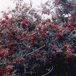 Sungari Rockspray Cotoneaster