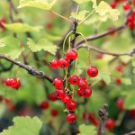 Currant 'Red Lake'