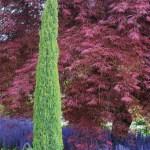 Juniperus communis 'Compressa' | Photo courtesy of Iseli Nursery