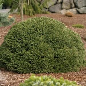 "Picea abies 'Fat Cat"" | Photo courtesy of Iseli Nursery"