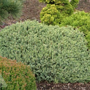 Picea glauca 'Echiniformis' | Photo courtesy of Iseli Nursery