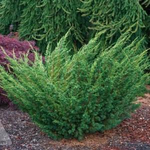 Juniperus chinensis 'Shimpaku' | Photo courtesy of Iseli Nursery