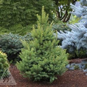 Picea glauca 'North Star' | Photo courtesy of Iseli Nursery