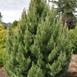 Pinus mugo 'Tannenbaum' | Photo courtesy of Iseli Nursery