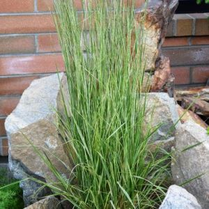 Calamagrostis acutiflora 'Avalanche'