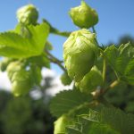 'Cascade' Hops | Photo by michaelstyne (Flickr) [CC BY-SA 2.0], via Wikimedia Commons