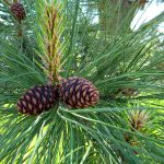 Pinus ponderosa cones | photo by Gerry from Fort St. John, BC, Canada [CC BY-SA 2.0], via Wikimedia Commons