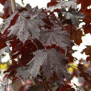 'Crimson King' maple | Photo by aha (Own work) via Wikimedia Commons