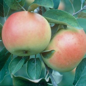 'Goodland' Apple | Photo courtesy of Bron & Sons Nursery Co.