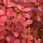 'Orange Rocket' Barberry | Photo courtesy of Bailey Nurseries, Inc.