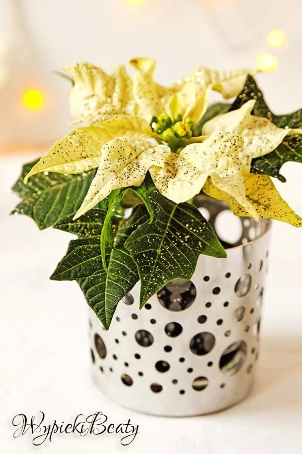 kwiat gwiazda betlejemnska biała
