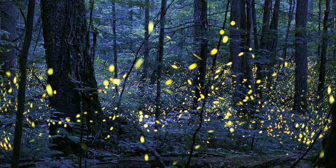 They're baaack!  GSMNP announces firefly viewing dates