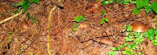 """Grzybnia często pokrywa się z korzeniami tworząc """"sznurki"""". Właśnie dlatego owocniki grzybów bardzo często rosną niedaleko siebie, w liniach."""