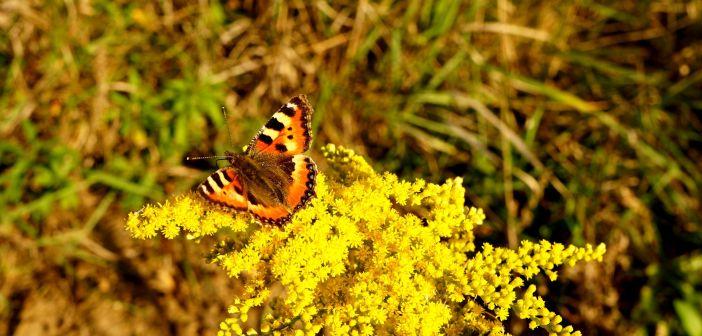 Rusałka pokrzywnik – popularny motyl naszych łąk i ogrodów