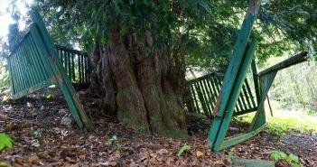 Jedno z najstarszych drzew w Polsce rośnie w Wałbrzychu! Trudna sytuacja sekretem długowieczności?