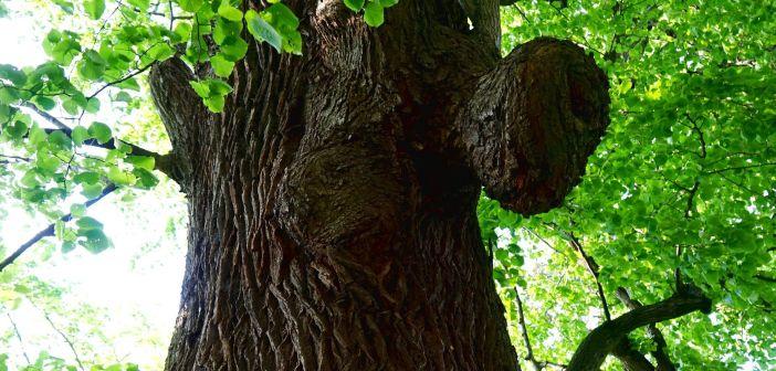 O starej lipie z Muchowa. Piękne i silne drzewo! [Pogórze Kaczawskie]