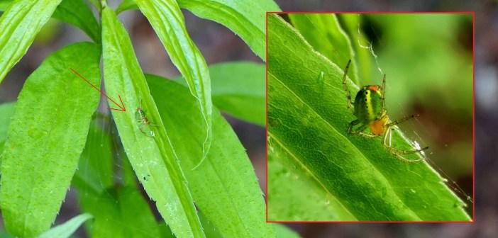 Krzyżak zielony – ogórkowy mistrz kamuflażu