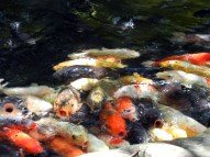 The many koi fish at Atago Shrine eager for people to feed them bread.