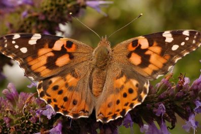 Painted_Lady_Vanessa_cardui_Top_closer