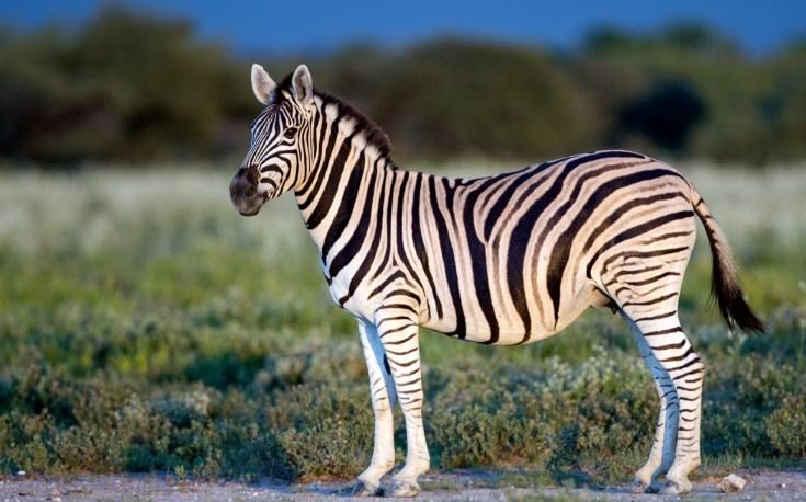 На Харківщині шукають зебру-втікачку