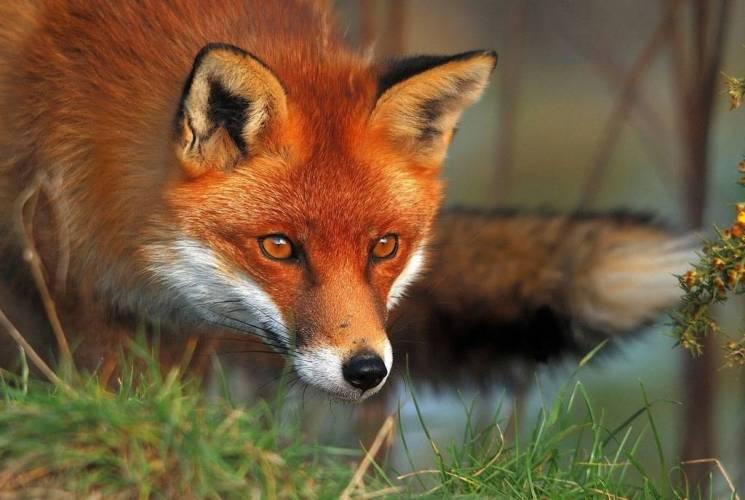На Харківщині проведуть імунізацію диких тварин