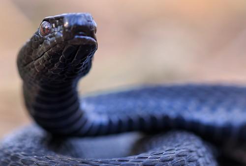 Зоологи попереджають про змій