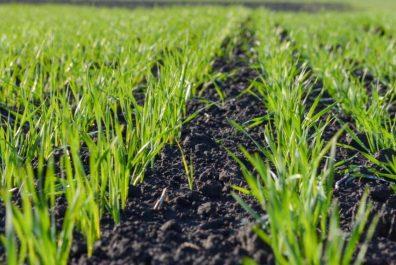Wheat-DSC_1494