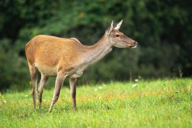 red-deer-female-sniffing-in-the-air-on-meadow-in-fall_158217-1537